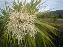 57. Cabbage Tree