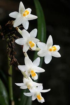 122. Fairy Bouquet Orchid