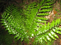 72. Shining Spleenwort