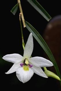 126. Tree of Life Orchid