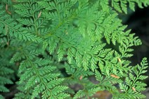 79. Fragrant Fern