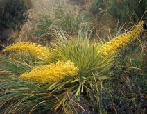 120. Golden Speargrass