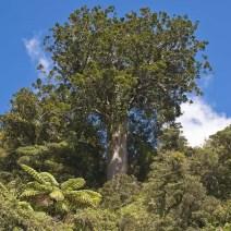 86. Ancient Kauri