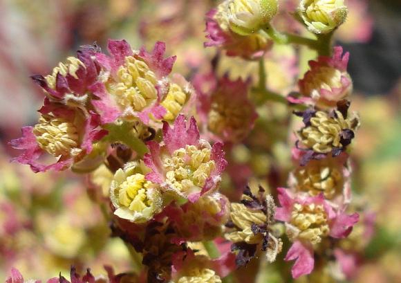 20. Wineberry