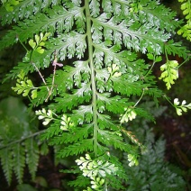 70. Hen and Chicken's Fern