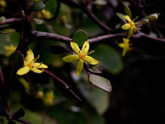 74. Golden Corokia