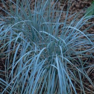 137. Mt Tititea Blue Grass