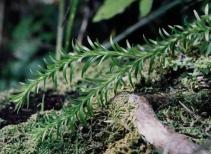 132. Hanging Clubmoss
