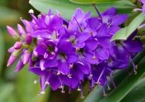 18. Purple Koromiko