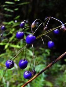 56. Inkberry