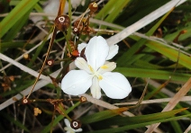 31. Native Iris