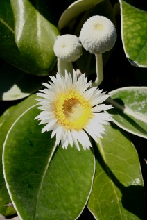 4. Marlborough Rock Daisy