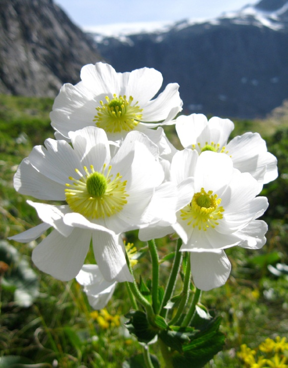 61. Mount Cook Lily