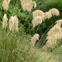 139. Mt Hikurangi Toe Toe Grass