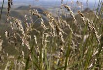 140. Mt Maungapohatu Holy Grass
