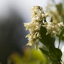 6. New Zealand Jasmine