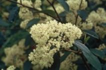 99. Pale Flowered Kumerahou