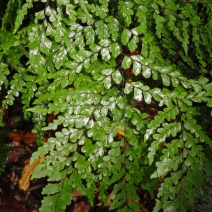 43. Plumed Maidenhair Fern