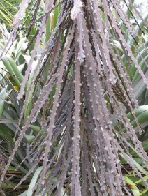 95. Toothed Lancewood