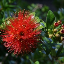 67. Red Rata