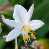 14. Rengarenga Lily