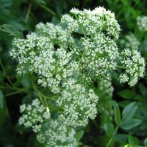 103. Native Angelica