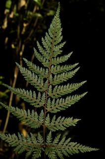 90. Smooth Shield Fern