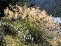 144. Mt Aorangi Snow Grass