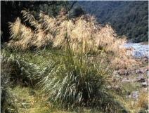 144. Mt Aorangi Snow Grass