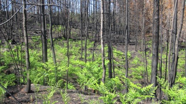 2012-pike-lake-fire-bracken-fern-sprouting-267