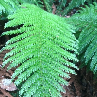 No 41 Prince of Wales Feathers Fern