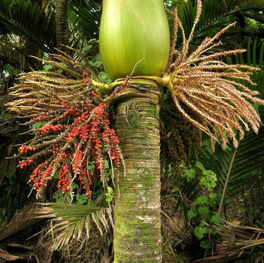 No 52 Nikau Palm